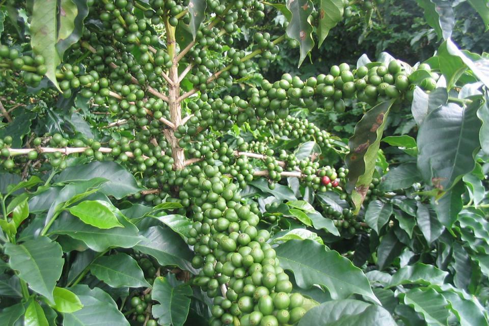 Nepal Organic Coffee